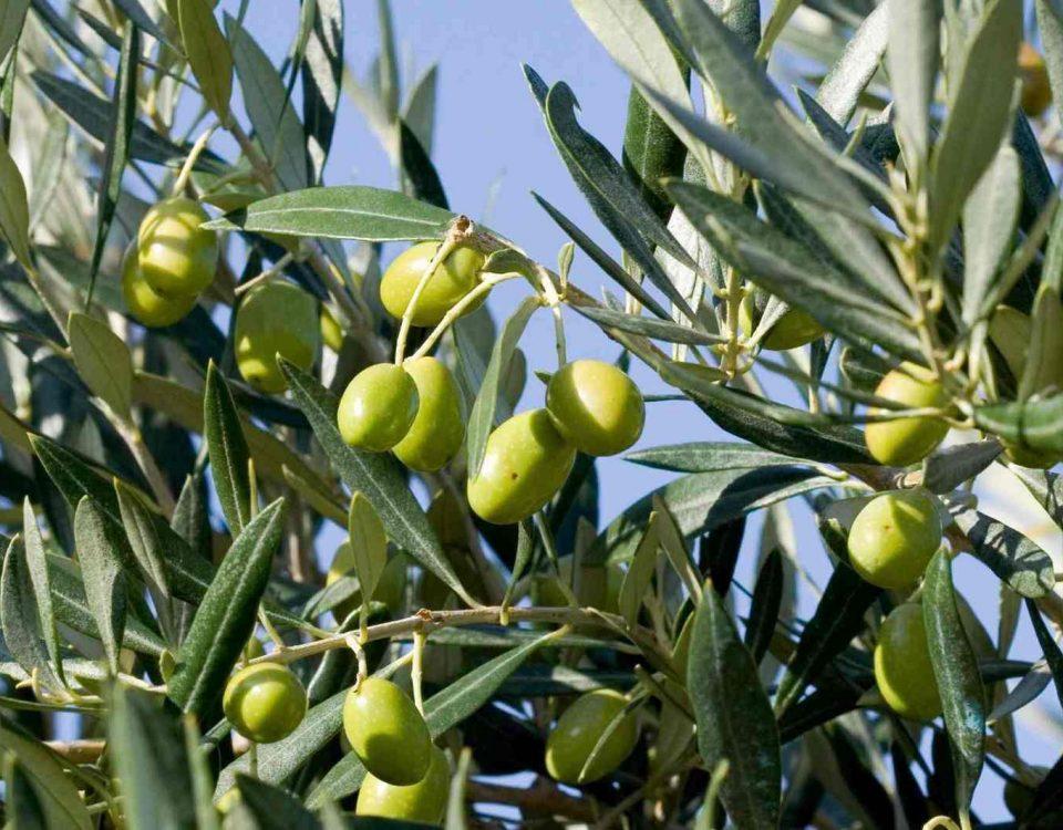 i-prodotti-dell-olivo